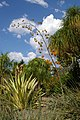 Agavaceae, Mt Coot-tha Botanic Gardens, Toowong IMGP0011.jpg