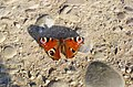 Aglais io - Tagpfauenauge auf Stein.jpg