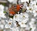 Aglais io Prunus 0873 (2).tif
