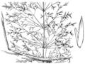 Agrostis stolonifera HC-1935.png
