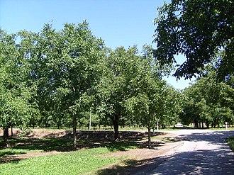 L'Albenc - Walnut trees at L'Albenc
