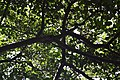 Albero.giardino.inglese.jpg