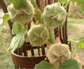 Alcea seedheads.jpg