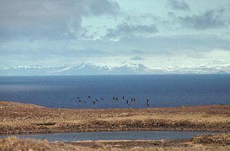Amchitka - Aleutian Cackling Geese in flight over Amchitka Island