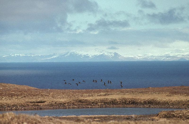 Aleutian Cackling Geese in Flight Over Amchitka Island.jpg