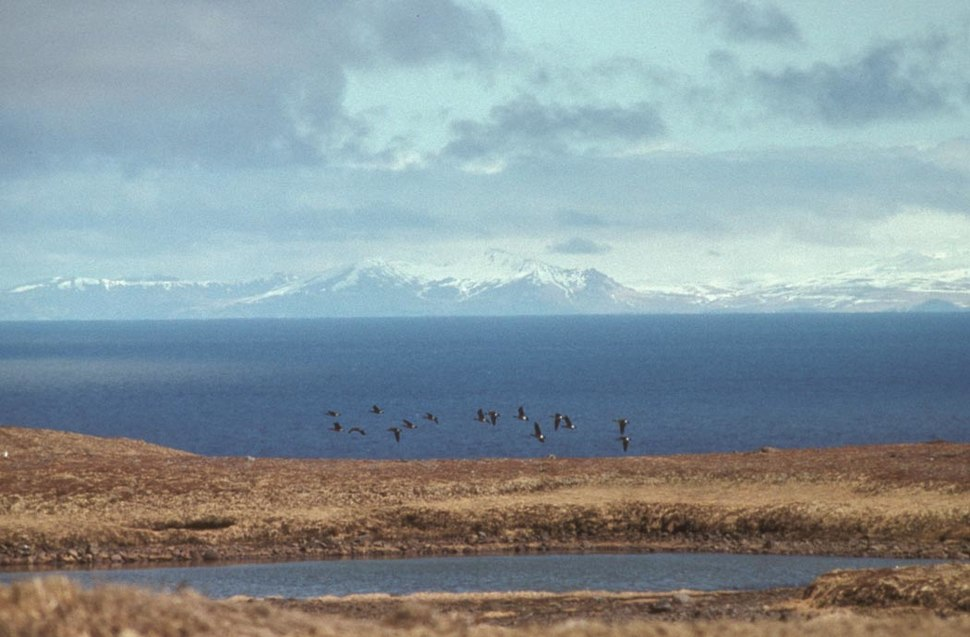 Aleutian Cackling Geese in Flight Over Amchitka Island