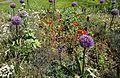 Allium giganteum 'Globemaster' (Amaryllidaceae)-3F.jpg