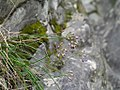 Allium kiiense kiiitorkkou02.jpg