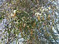 Alnus jorullensis Kunth (AM AK327106-5).jpg