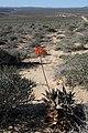 Aloe arenicola (Asphodelaceae-Xanthorrhoeaceae) (36767367373).jpg