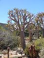 Aloe dichotoma quiver tree.jpg