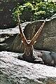 Capra alpină