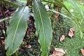 Alpinia purpurata 29zz.jpg