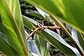 Alpinia zerumbet 19zz.jpg