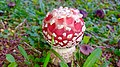 Amanita muscaria 1.jpg