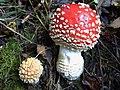 Amanita muscaria G2.jpg