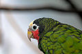 Amazona leucocephala -Jungle Island theme park -USA-6a.jpg