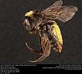 American Bumble Bee, male (Apidae, Bombus pensylvanicus (De Geer)) (35819436462).jpg