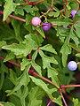 Ampelopsis japonica Winnik 2018-09-02 02.jpg
