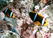 Amphiprion chrysopterus by NPS.jpg