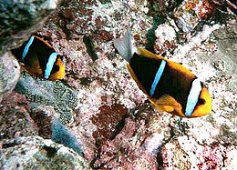 Amphiprion chrysopterus by NPS