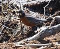 An American robin (59397e9f-94b6-485e-a979-0ea3312b6d1f).jpg