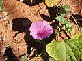 An Ipomoea muelleri flower.jpg