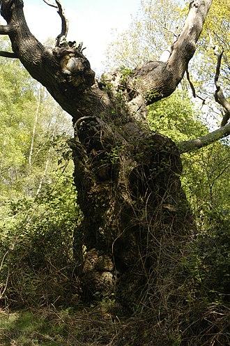 Silvopasture - Image: Ancient veteran pollard oak in western Berkshire's Aldermaston court's derelict wood pasture or park, April 2017