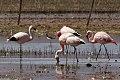 Andean & Chilean Flamingo (8077622025).jpg