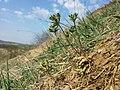 Androsace maxima sl61.jpg