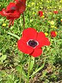 Anemone flower.jpg