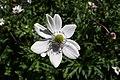 Anemone rivularis kz02.jpg