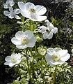 Anemone x hybrida Geante des Blanches RJB.jpg