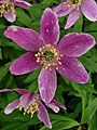 Anemonoides nemorosa 74465180.jpg