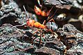 Ant close-up (7959731258).jpg