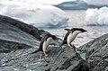Antarctic, adelie penguins (js) 19.jpg