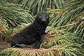 Antarctic Fur Seal pup atop Tussock Grass.jpg
