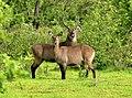 Antelopes Mole NP 2006 B002.jpg