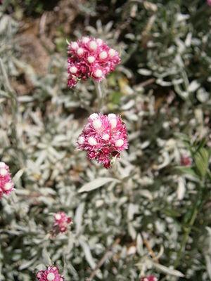 Antennaria rosea - Image: Antennaria rosea 01