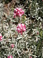 Antennaria rosea 01.jpg