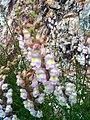 Antirrhinum graniticum subsp. onubensis Plant 2009April26 SierraMadrona.jpg