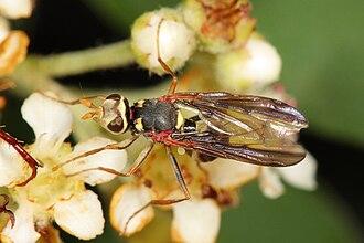 Platystomatidae - Australian species - about 7 mm in length