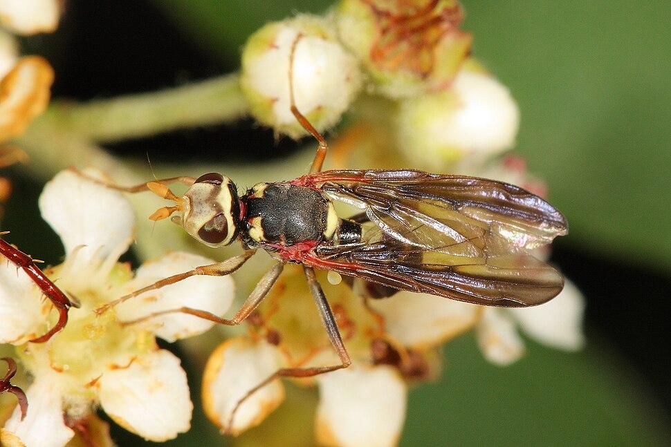 Antler Fly - Platystomatidae sp