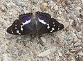 Apatura iris.jpg