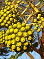Apiales - Fatsia japonica - 10.jpg