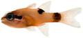 Apogon maculatus - pone.0010676.g069.png