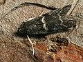 Apomyelois bistriatella (41211193601).jpg