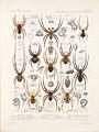 Arachnida Araneidea Vol 1 Table 37.jpg