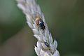 Araignées, insectes et fleurs de la forêt de Moulière (Le Gâchet de Villiers) (29024453792).jpg