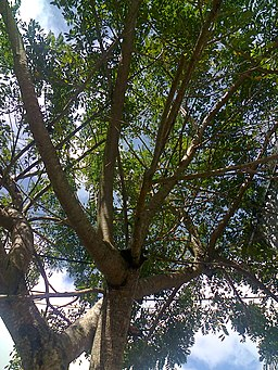 árbol de jocote